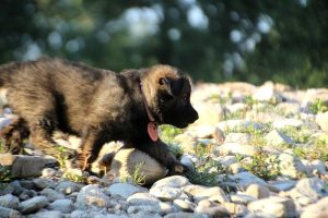 altdeutsche-shaferhunde-comme-chiens-et-loups0118
