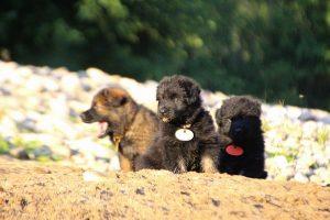 altdeutsche-shaferhunde-comme-chiens-et-loups0119