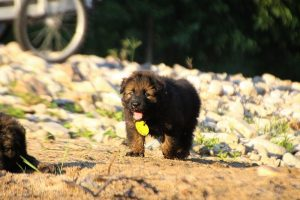altdeutsche-shaferhunde-comme-chiens-et-loups0120