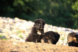 altdeutsche-shaferhunde-comme-chiens-et-loups0121