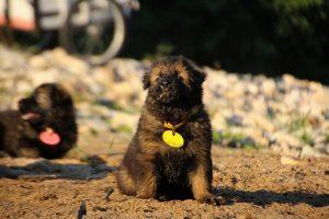 altdeutsche-shaferhunde-comme-chiens-et-loups0124