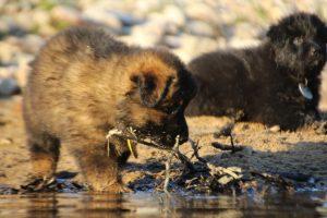 altdeutsche-shaferhunde-comme-chiens-et-loups0125
