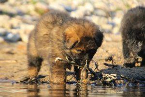 altdeutsche-shaferhunde-comme-chiens-et-loups0126