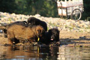 altdeutsche-shaferhunde-comme-chiens-et-loups0130