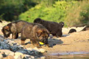 altdeutsche-shaferhunde-comme-chiens-et-loups0132