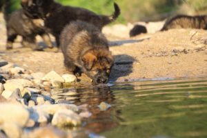 altdeutsche-shaferhunde-comme-chiens-et-loups0133