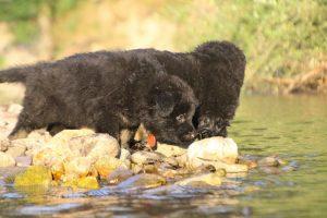 altdeutsche-shaferhunde-comme-chiens-et-loups0134