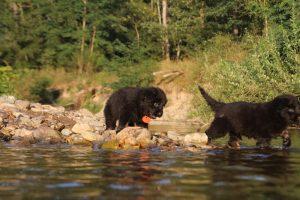 altdeutsche-shaferhunde-comme-chiens-et-loups0136