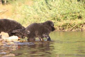 altdeutsche-shaferhunde-comme-chiens-et-loups0138