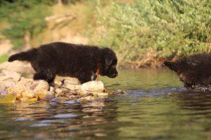 altdeutsche-shaferhunde-comme-chiens-et-loups0139