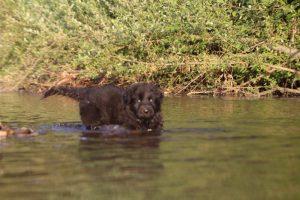 altdeutsche-shaferhunde-comme-chiens-et-loups0140