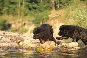 altdeutsche-shaferhunde-comme-chiens-et-loups0142