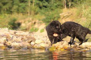 altdeutsche-shaferhunde-comme-chiens-et-loups0143