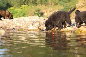 altdeutsche-shaferhunde-comme-chiens-et-loups0144