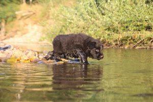 altdeutsche-shaferhunde-comme-chiens-et-loups0145