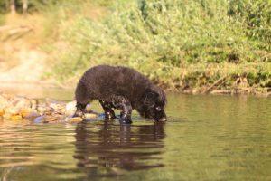 altdeutsche-shaferhunde-comme-chiens-et-loups0146