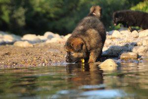 altdeutsche-shaferhunde-comme-chiens-et-loups0150