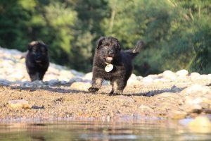 altdeutsche-shaferhunde-comme-chiens-et-loups0152