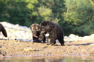 altdeutsche-shaferhunde-comme-chiens-et-loups0153