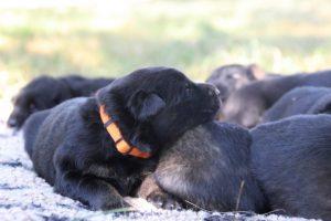 Image-berger-allemand-ancien-type-comme-chiens-et-loups0005