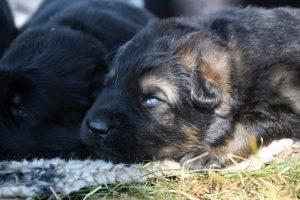Image-berger-allemand-ancien-type-comme-chiens-et-loups0008