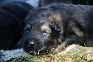 Image-berger-allemand-ancien-type-comme-chiens-et-loups0009
