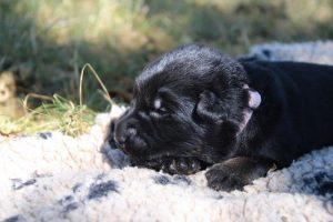 Image-berger-allemand-ancien-type-comme-chiens-et-loups0016