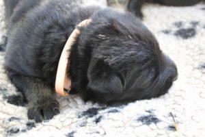 Image-berger-allemand-ancien-type-comme-chiens-et-loups0030