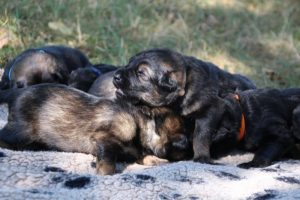 Image-berger-allemand-ancien-type-comme-chiens-et-loups0035