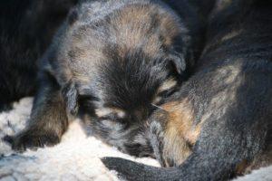 Image-berger-allemand-ancien-type-comme-chiens-et-loups0039