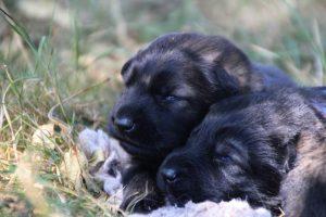 Image-berger-allemand-ancien-type-comme-chiens-et-loups0040