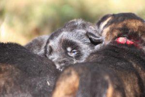 Image-berger-allemand-ancien-type-comme-chiens-et-loups0057