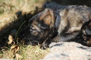 Image-berger-allemand-ancien-type-comme-chiens-et-loups0061
