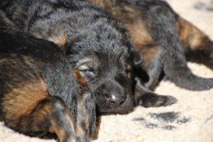 Image-berger-allemand-ancien-type-comme-chiens-et-loups0063