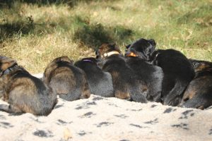 Image-berger-allemand-ancien-type-comme-chiens-et-loups0070