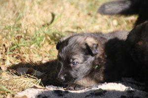 altdeutscher schaferhund0046