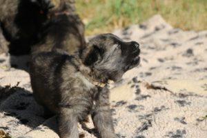altdeutscher schaferhund0062