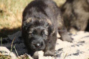 altdeutscher schaferhund0070