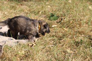 altdeutscher schaferhund0074