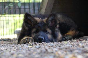 altdeutscher schaferhund0098