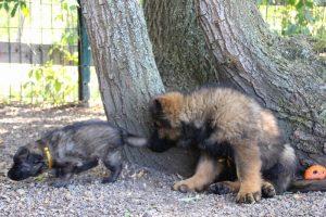 altdeutscher schaferhund0103