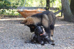 altdeutscher schaferhund0104