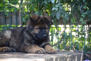 altdeutscher schaferhund0109