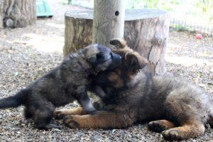altdeutscher schaferhund0116