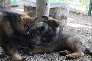 altdeutscher schaferhund0117