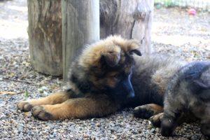 altdeutscher schaferhund0118