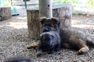 altdeutscher schaferhund0119