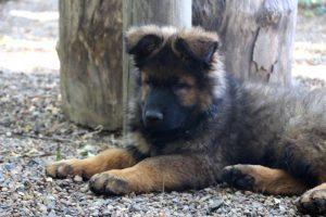 altdeutscher schaferhund0120