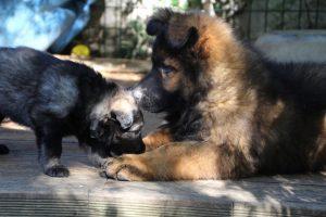 altdeutscher schaferhund0124