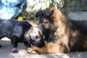 altdeutscher schaferhund0125